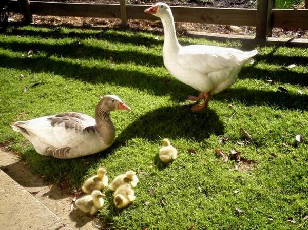 Waddles - the ingrate - proudly showing off his new family.